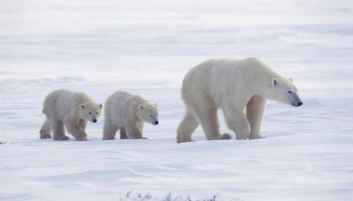 Zvířata v Arktidě. Zajímavosti o ledních medvědách 83ca06be74