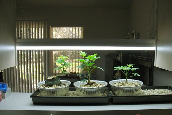Bonsai Beschrijving Hoe Een Bonsai Te Kweken Een Miniatuurtuin Op De Vensterbank