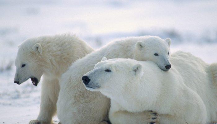 Mezi prsty je vložka a struktura tlapky umožňuje polárním medvědům plavat 3ce88ec692